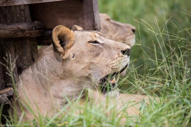 Löwe im zoo Premium Fotos