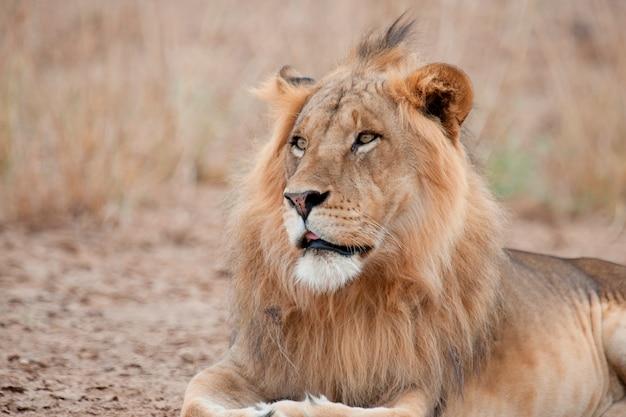 Löwen wildtiere in kenia Premium Fotos