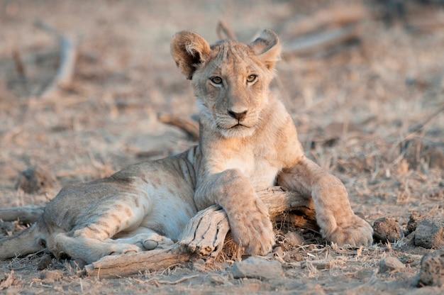 Löwenbaby in kenia afrika Premium Fotos