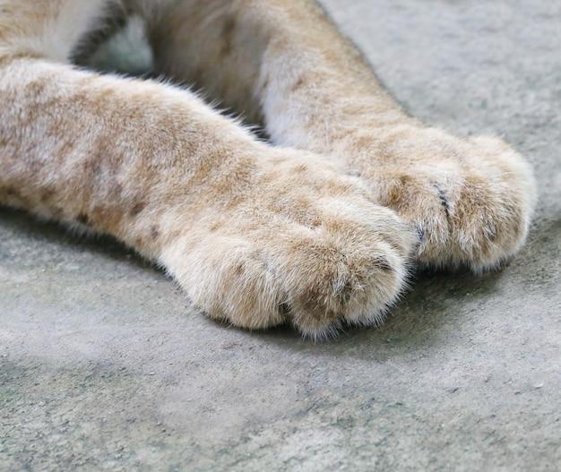 Löwenbabys fuß Premium Fotos