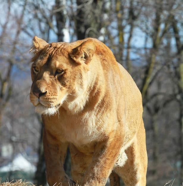 Löwin in der zoosafari Premium Fotos