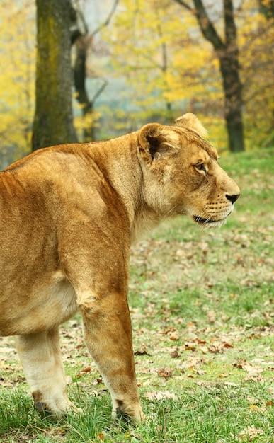 Löwinnen im safari-zoo Premium Fotos