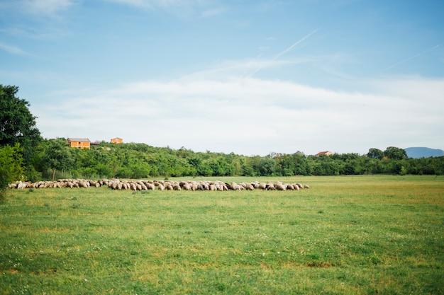 Long shot der schafherde gras auf der weide essend Kostenlose Fotos