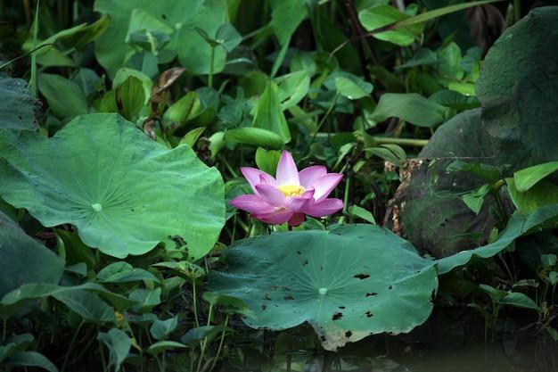Lotus blume Kostenlose Fotos