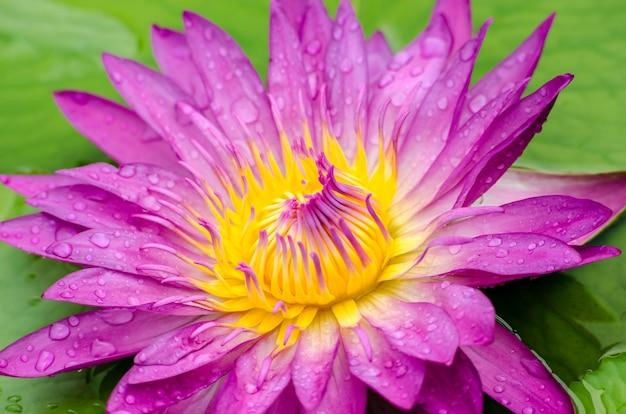 Lotusblume eine schöne rosa seerose im teich Premium Fotos