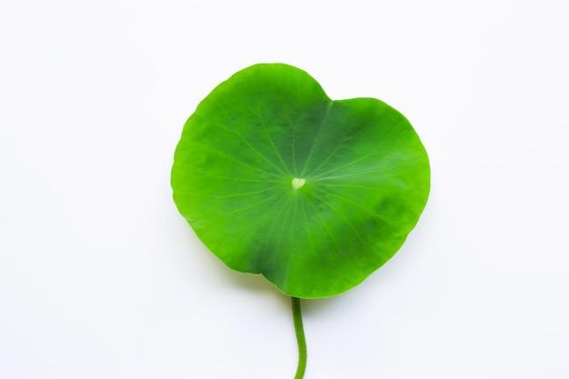 Lotusblumenblätter auf weiß. Premium Fotos
