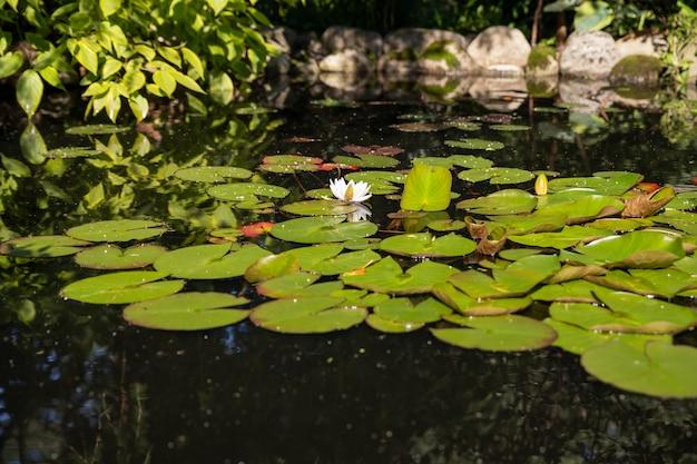 Lotusmuster im grünen teich. weißer lotus, seerose auf oberfläche, grünes blatt im botanischen garten, sommerflora mit schwimmenden pflanzen, tropische blume, lilie im natürlichen teich. Premium Fotos