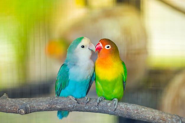 Lovebird-kuss Premium Fotos