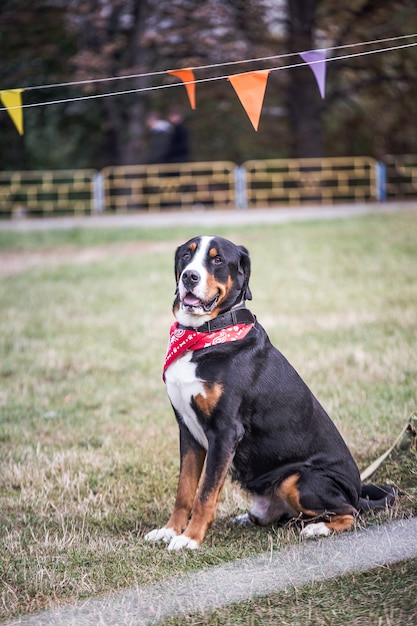 Lucky bernese berner sennenhund großer hund auf der grünen wiese Premium Fotos