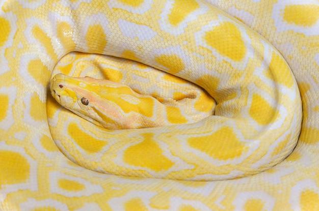 Lügenbeschaffenheitshintergrund der goldenen pythonschlangegelbschlange Premium Fotos