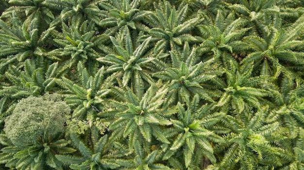 Luftbild der draufsicht von den drohnen der palme. schöne grüne umgebung. Premium Fotos