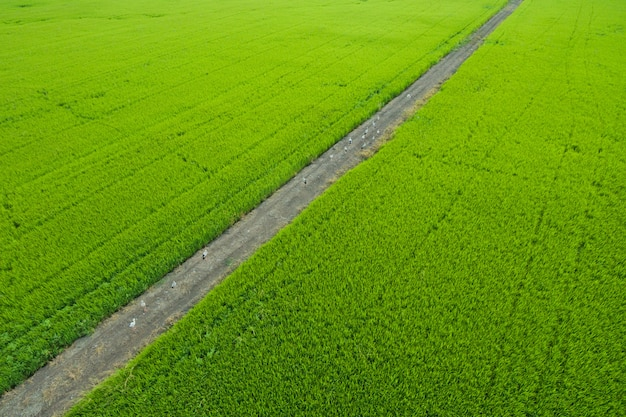 Luftbild von fliegenden drohne von feldreis mit landschaft Premium Fotos