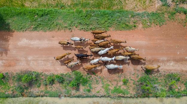 Luftdraufsicht der massen vieler kühe, die in die landschaft, thailand gehen Premium Fotos