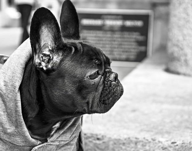 Lustige bulldogge Kostenlose Fotos