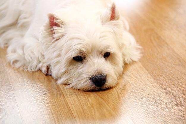 Lustiger weißer hund zu hause Kostenlose Fotos