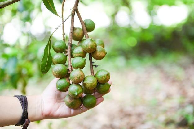 Macadamia-baum in der bauernhof- und frauenhand, die macadamia-nuss hält Premium Fotos