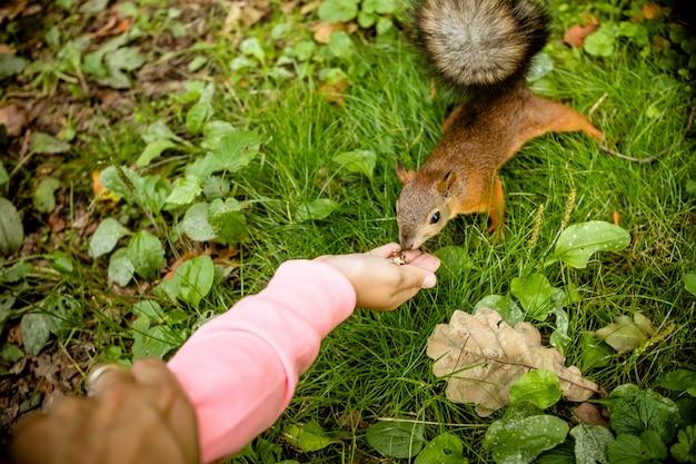 Mädchen, das eichhörnchen im herbstpark füttert. kind, das wildes tier im herbstwald mit goldenen eichen- und ahornblättern beobachtet. Premium Fotos
