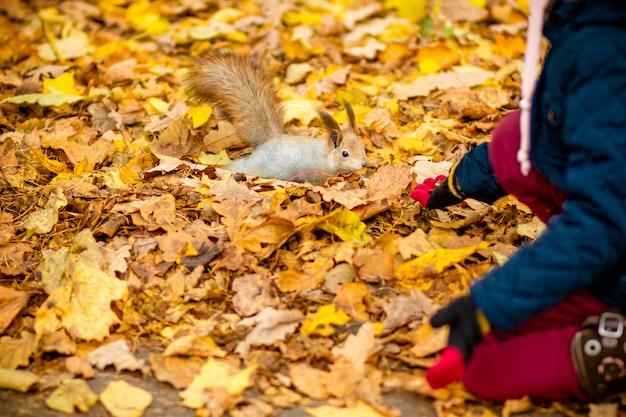 Mädchen, das eichhörnchen im herbstpark füttert. kleines mädchen im blauen trenchcoat, das wildes tier im herbstwald mit goldenen eichen- und ahornblättern beobachtet Premium Fotos