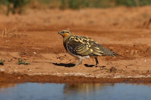 Männchen des nadelschwanz-sandhuhns, das in einer steppe von aragon, spanien, in einem wasserbecken im sommer trinkt Premium Fotos