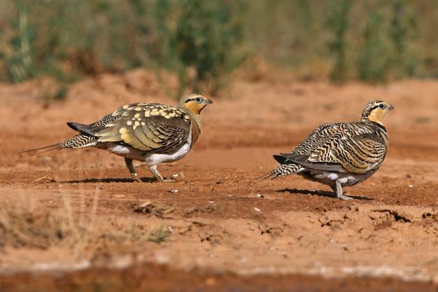 Männchen und weibchen des nadelschwanzsandhuhns, die im sommer in einer steppe von aragon, spanien, in einem wasserbecken trinken Premium Fotos