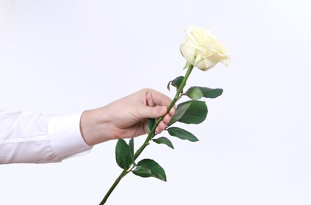 Männliche hand, die eine einzelne weiße rose lokalisiert auf weißem hintergrund hält. Premium Fotos