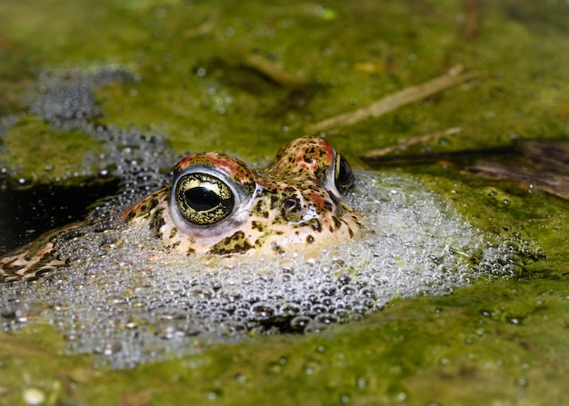 Männliche kreuzkröte (epidalea calamita) Premium Fotos