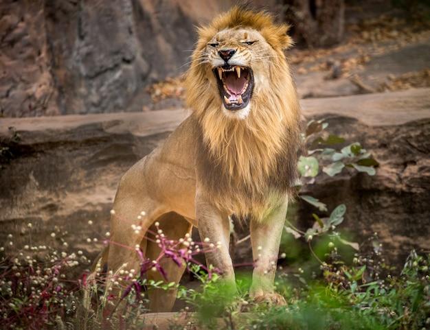 Männliche löwen, die brüllen und auf der natürlichen umwelt des zoos stehen. Premium Fotos