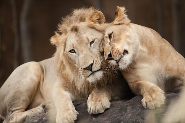Männliche und weibliche löwen Premium Fotos