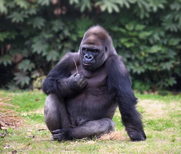 Männlicher erwachsener gorilla schaut gerade in camera mit mürrischem ausdruck Premium Fotos