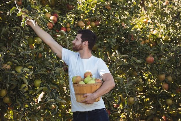 Männlicher landwirt, der äpfel sammelt Kostenlose Fotos