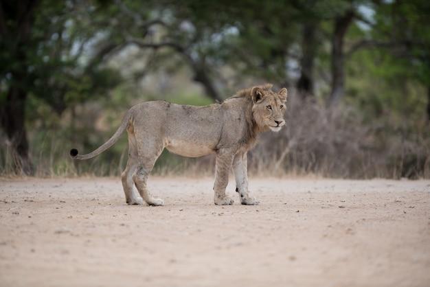Männlicher löwe, der auf der straße geht Kostenlose Fotos