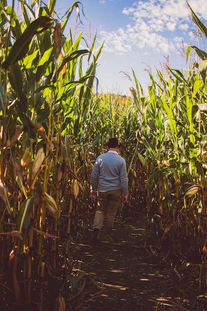 Männliches gehen durch ein maisfeld an einem sonnigen tag mit blauem himmel im hintergrund Kostenlose Fotos