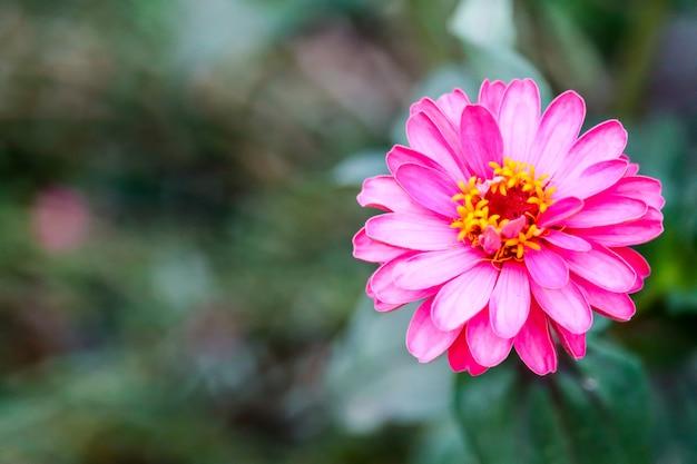 Magentafarbene farbe der zinnias blüht und unschärfe verlässt hintergrund Premium Fotos
