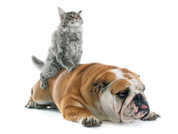 Maine-waschbärkätzchen und englische bulldogge Premium Fotos