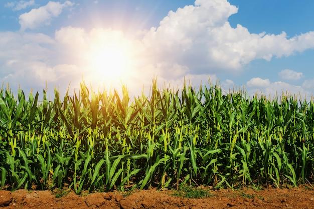 Mais, der in der plantage mit sonne und blauem himmel wächst Premium Fotos