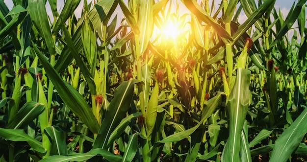 Mais, der in der plantage und im sonnenuntergang wächst Premium Fotos
