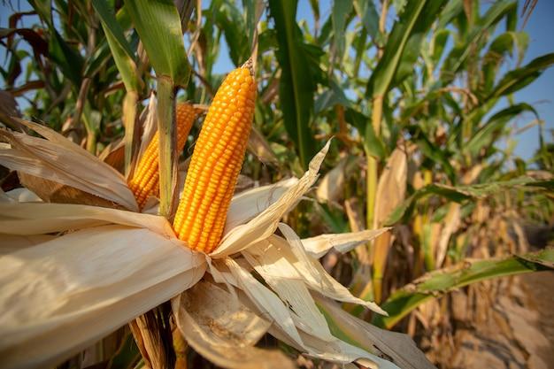 Mais für tierfutter, gelbe körner als hintergrund. Premium Fotos