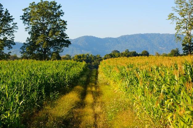 Mais ist auf dem bauernhof, auf dem maisfeld und auf dem feldweg nicht vollständig angebaut. Premium Fotos