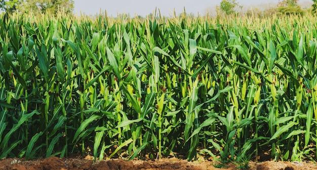 Maisanbau in plantagen Premium Fotos