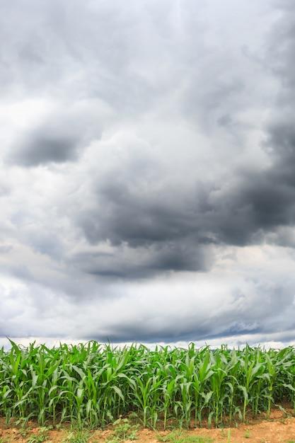 Maisfeld hintergrund Premium Fotos