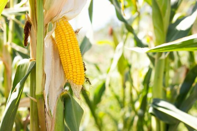 Maiskolben auf dem feld, maisernte sammeln. Premium Fotos