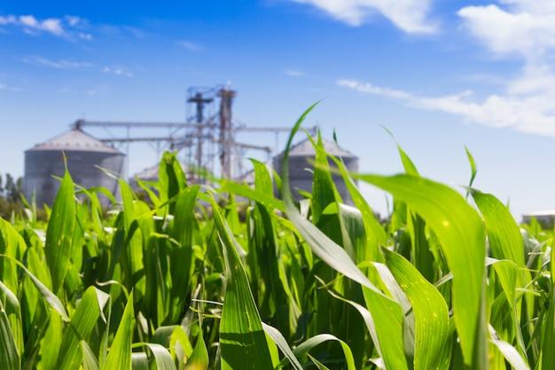 Maisplantage und defocused silos im hintergrund Premium Fotos