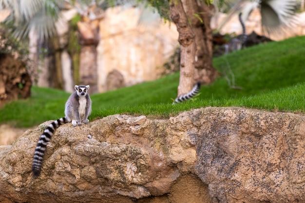 Maki catta lemuridae, der kamera beim stillstehen auf einem felsen in einem zoo betrachtet. Premium Fotos