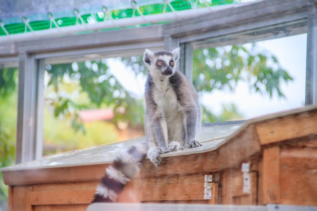 Maki im zoo. ein tier in gefangenschaft. gestreifter schwanz. Premium Fotos