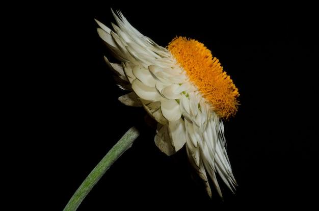 Makroaufnahme der weißen gänseblümchenblume auf schwarz Kostenlose Fotos