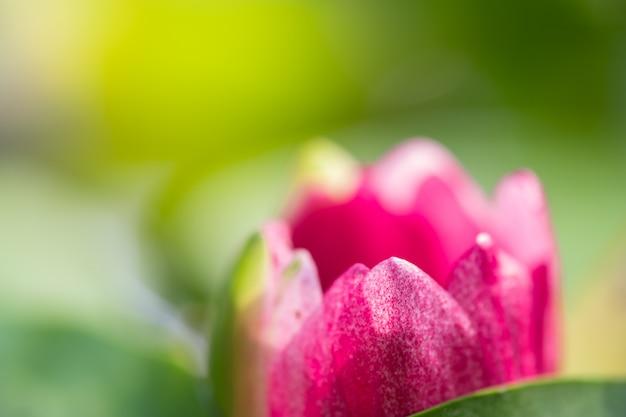 Makroblumenblatt der nahaufnahme der rosa seerose oder des lotos mit grünem blatt im teich Premium Fotos