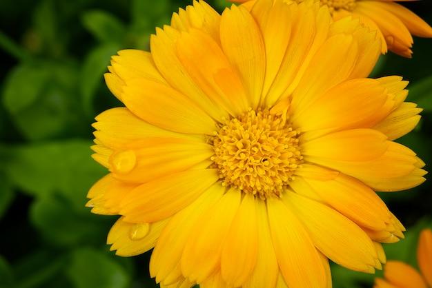 Makrospross von calendula-blume, calendula officinalis oder englischer ringelblume auf verschwommener grüner natur Premium Fotos