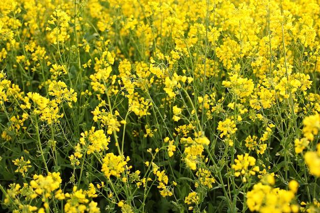 Malerische ländliche landschaft mit gelbem raps-, raps- oder rapsfeld. rapsfeld, blühende rapsblüten schließen. vergewaltigung auf dem feld im sommer. hellgelbes rapsöl. blühender raps Premium Fotos