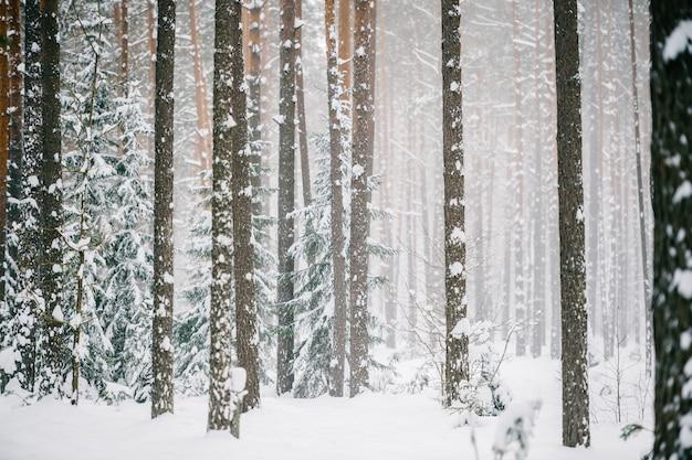 Malerischer weinwald. fabelhaftes schneebedecktes wunderland. magische schöne szenische ansicht von den kiefern und von fichten bedeckt mit schnee. kalte frostige natur. Premium Fotos