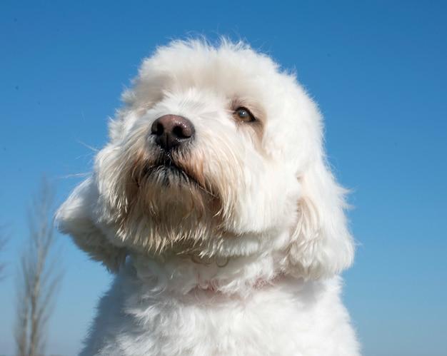 Maltesischer hund Premium Fotos